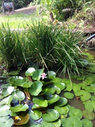 Lily Pond at Rossmount Rural Retreat.