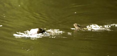 Platypus chased by water dragon lizard.